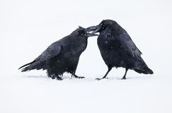 Ravens Immagini Stock