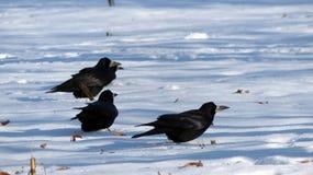 ravens Lizenzfreies Stockbild