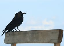 Ravens against the sky Royalty Free Stock Images