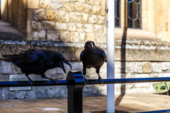 Ravens in av tornet av London Royaltyfria Bilder