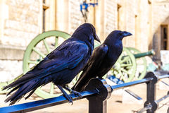 Ravens in av tornet av London Royaltyfri Foto