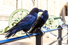 Ravens in av tornet av London Royaltyfria Foton