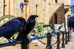 Ravens in av tornet av London Arkivfoton
