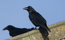 Ravens Corvus corax perched on the roof of a farm building. Ravens Corvus corax perched on the roof of a farm building in Orkney, Scotland Stock Photos