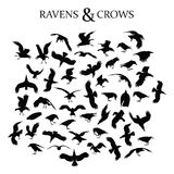 Ravens and Crows Stock Photo