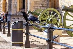 Ravens dentro della torre di Londra Fotografia Stock Libera da Diritti