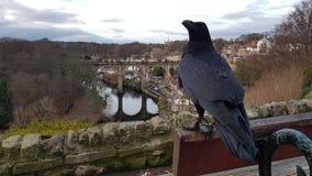 Ravens di Knaresborough appollaiati sul banco fotografia stock libera da diritti