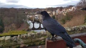 Ravens di Knaresborough appollaiati sul banco fotografia stock