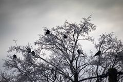 Ravens on dry branches covered with snow in winter. royalty free stock photography