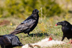 Ravens eating their prey. Goatling Royalty Free Stock Photography
