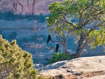 Ravens on the Edge. Two ravens looking over the edge of a cliff. Colorado National Monument offers spectacular views of mountains and rock formations. Beautiful royalty free stock photos