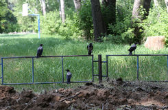 Ravens. A few birds sit on a metal fence orderly. Digital photo Stock Images