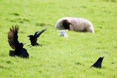 Ravens. Fighting on a sheep farm in rural Devon, England royalty free stock photo