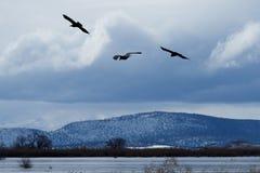 Ravens in flight. Klamath Basin National Wildlife Refuge. Oregon, Merrill, Winter stock image