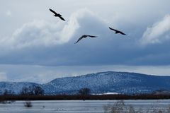 Ravens in flight. Klamath Basin National Wildlife Refuge. Oregon, Merrill, Winter royalty free stock image