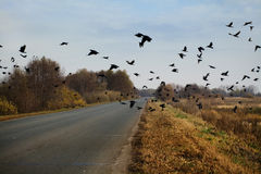 Ravens flock. Flying over the road Royalty Free Stock Photos