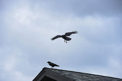Ravens. The flocks of ravens having large and black beaks , shaggy feathers and wedge - shaped tails Stock Photos