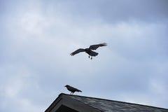Ravens Stock Photos