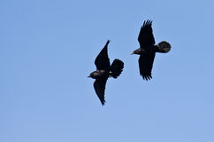 Ravens Flying in a Blue Sky Stock Photos