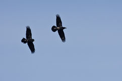 Ravens Flying in a Blue Sky Royalty Free Stock Photos