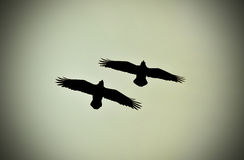 Ravens flying Royalty Free Stock Images