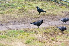 Ravens on the grass are looking for food. No food for birds in winter stock photo