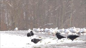 Ravens and gulls searching for fodder in winter stock footage