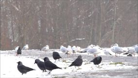 Ravens and gulls in snow searching for fodder in winter stock video footage