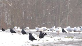 Ravens and gulls in winter stock video footage