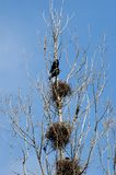 Ravens Near Nests On A Tree Royalty Free Stock Photography