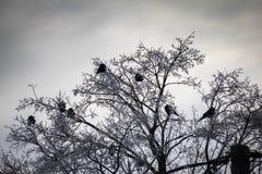 Ravens på torra filialer som täckas med insnöad vinter royaltyfri fotografi