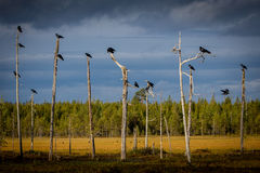 Ravens. Sitten in sol trees in the evenng sunlight Stock Images