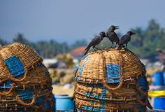 Ravens sitting on fish baskets Stock Images