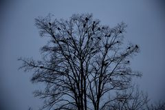 Ravens sitting on a tree Stock Images