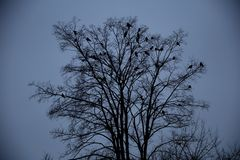 Ravens sitting on a tree Royalty Free Stock Images