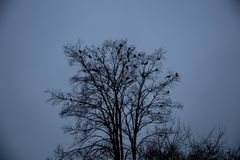 Ravens sitting on a tree Stock Photography
