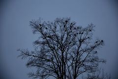 Ravens sitting on a tree Royalty Free Stock Photos