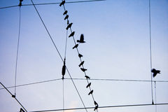 Ravens sitting on wire. S and flying on blue sky background Royalty Free Stock Photos