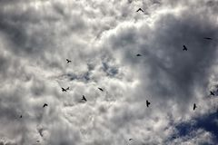 Ravens in the sky autumn grey gloomy mood Royalty Free Stock Image