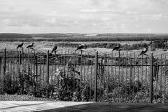 Ravens sur la barrière Photographie stock libre de droits