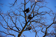 Ravens. Three Ravens on Tree Branch Royalty Free Stock Photography