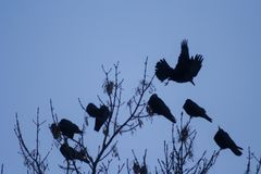 Ravens on the tree. stock photography