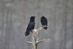 Ravens on a tree in snowfall. Ravens on a tree in a snowfall Stock Photos