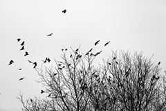 Ravens  on the trees Royalty Free Stock Photography