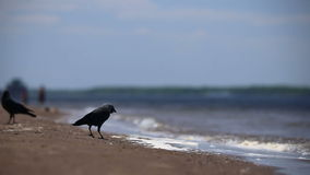Ravens are walking on the sand stock video footage