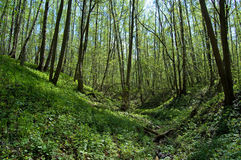 The ravine  in the spring  wood. The ravine covered with fresh young growth in the spring wood filled in with the sun Stock Images