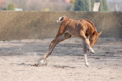 Raving foal. A warm-blooded foal raving across the paddock Stock Photo