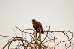 Ravisher d'Eagle sur un arbre Photos stock