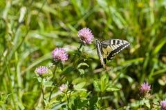 Ravitaillement de Swallowtail Photo libre de droits