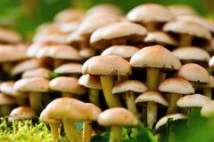 Free Raw Agaric Honey Edible Mushrooms Stock Image - 16526621
